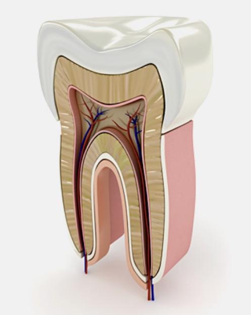dentista portogruaro: modellino sezione dente